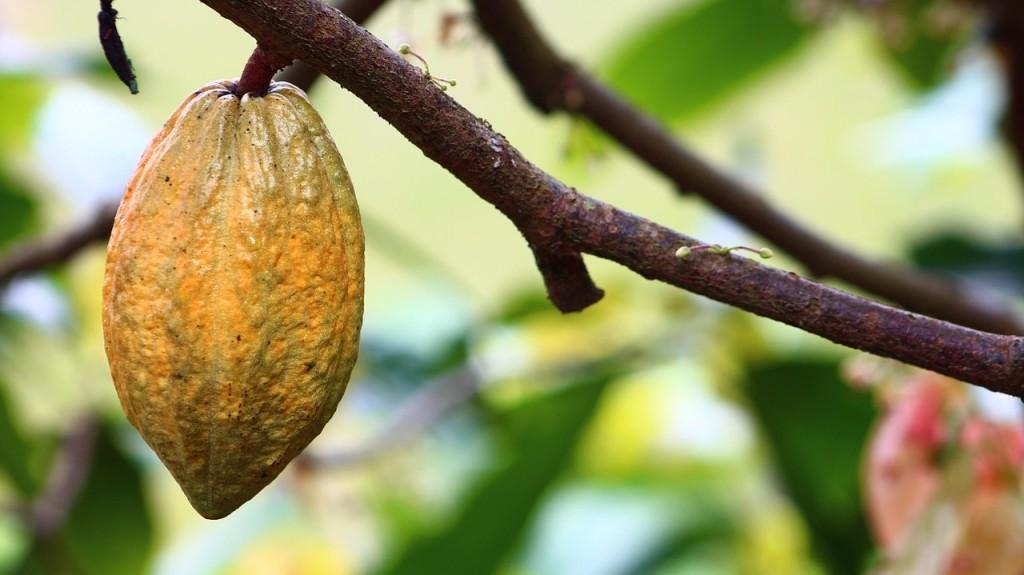 blog-kakao-wirkung-kakaobohne-am-ast