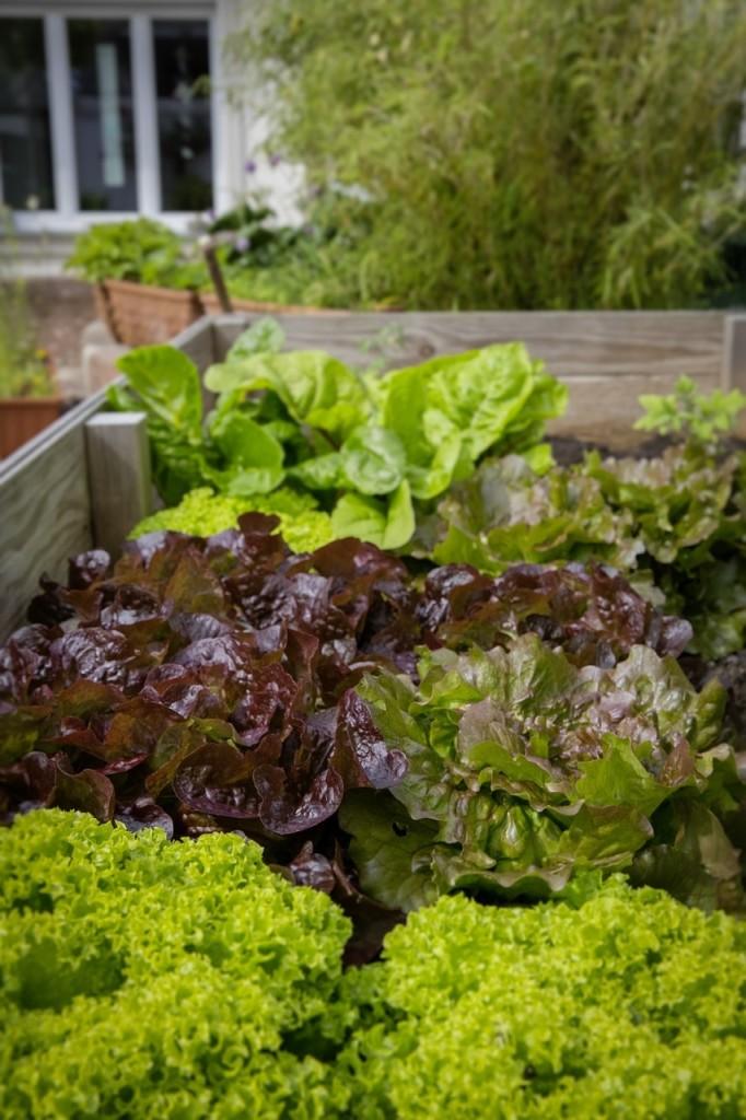 blog-urban-gardening-gruener-salat-im-hochbeet