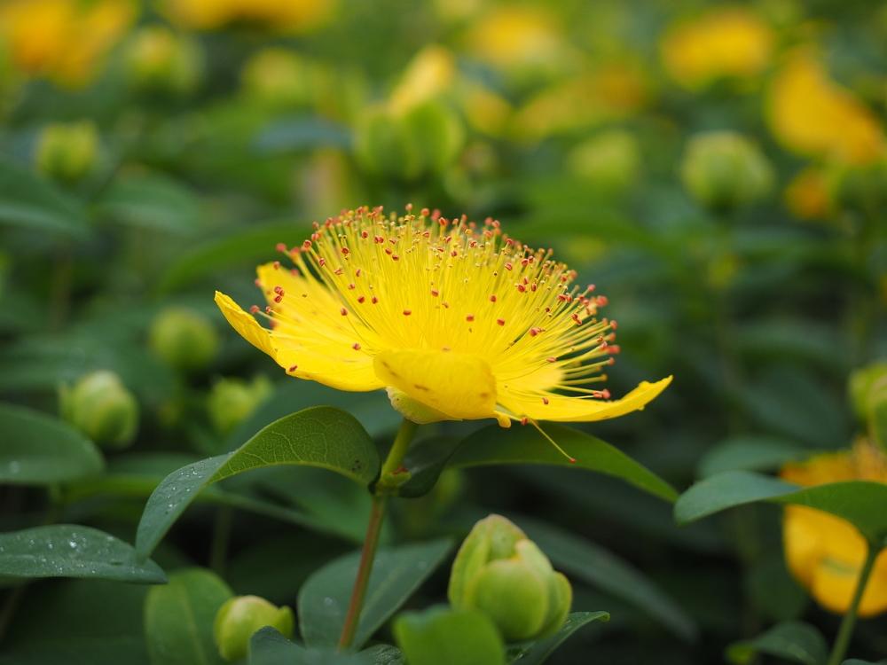 Die Johanniskraut-Pflanze kann Wechseljahresbeschwerden lindern
